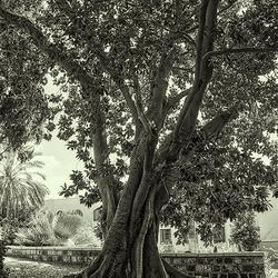 Oude boom in Israël