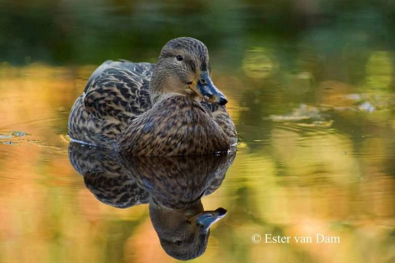Herfst Eend - In de vijver in de Leidse Hortus botanicus zwom deze vrouwtjes eend terwijl de herfstkleuren weerspiegelden in het water.
