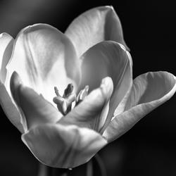 Witte tulp