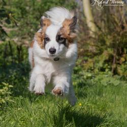 Loki - IJslandse Hond