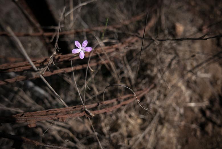 Israël - Bloei - Israël, een land dat door vele wordt veracht maar uiteindelijk zal bloeien....<br /> <br /> Genomen op nabij een fort op de Golan-H