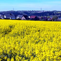 Koolzaadvelden in de omgeving van Arnsberg