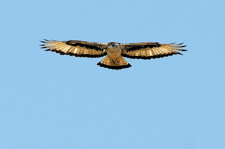 african hawk eagle - African hawk eagle biddend boven een prooi.