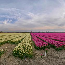 Tulpen uit