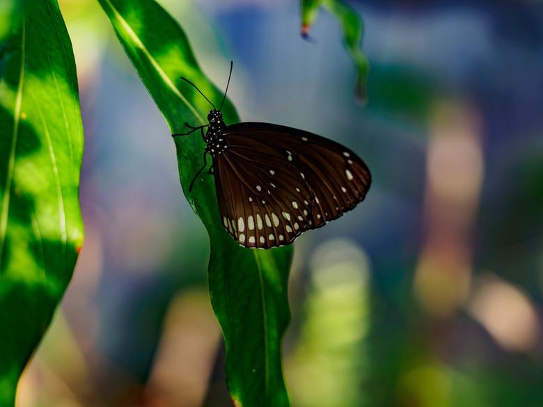 Wildlands juni 2018-6 - genomen in de vlindertuin van Wildlands in Emmen. een fantastische plek voor het fotograferen van vlinders
