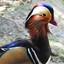 Manderijn eend