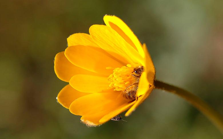 Gele Bloem - Tijdens één van mijn wandelingen ook maar eens tussendoor een bloempje gefotografeerd, <br /> later zag ik dat er ook nog wat kleine bee