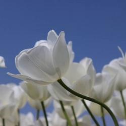 Kromme tulp