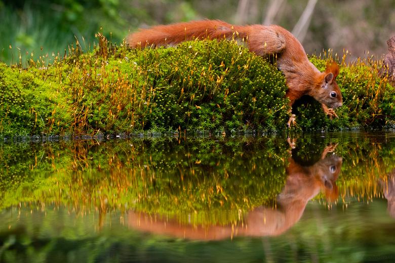 Look @ me, myself and I - Deze eekhoorn zocht wat verfrissing en kwam zichzelf tegen in het spiegelgladde water...