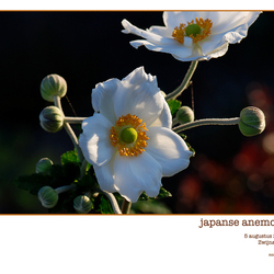 anemoon in het zonnetje