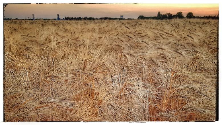 Korenveld - Korenveld bij zonsondergang