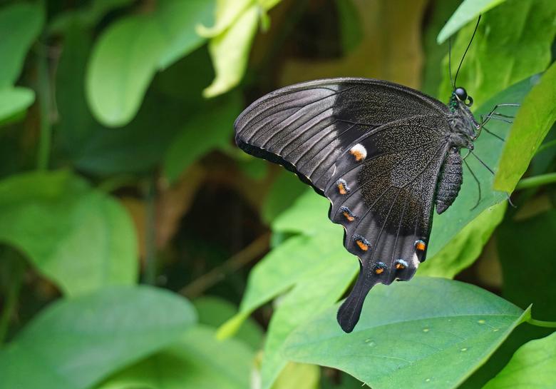 zwartgrijse vlinder