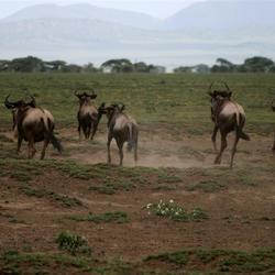 Wildebeest migratie in serengeti