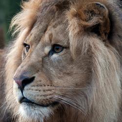 Leeuw Burgers'  Zoo.jpg