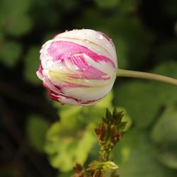 mijn eigen tulpenveldje