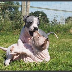 Mijn Amerikaanse naakthonden Milow en Jeslyn 6 weken oud