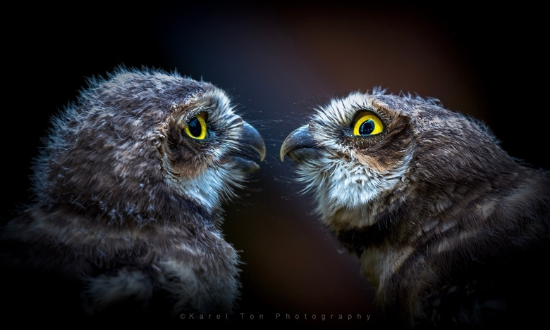 Juvenile Borrowing Owls