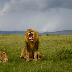 Leeuwen in de Masai Mara