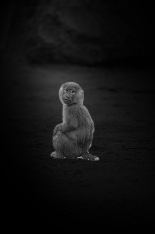 Mantelbaviaan - Mantelbaviaan kijk gerust even om, om de bezoekers van safari park Beekse bergen te bewonderen.