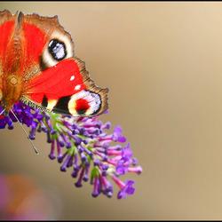 vlinder van bovenaf................