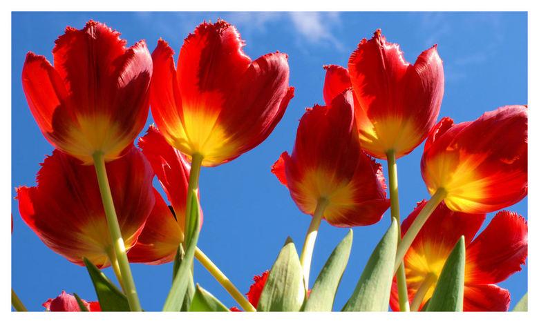 Tulpen - Eigenlijk vind ik de groene bladeren iets te licht maar ik krijg deze niet donkerder met Corel of Photoshop, zonder dat de hele foto donkerde