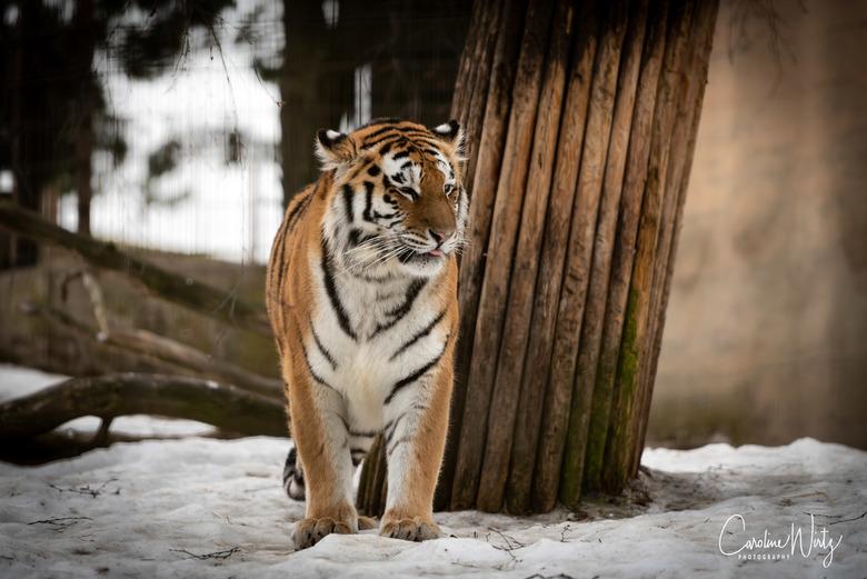 Tijger - Tijger in de Helsinki Zoo, Korkeasaari