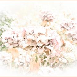 besneeuwde hortensia