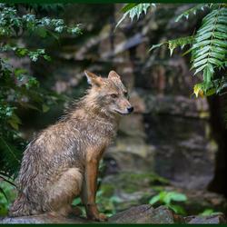 Wolf_HBL5190