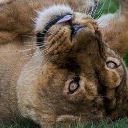Leeuwin luierend
