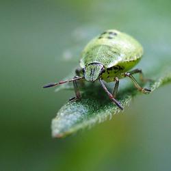 nimf groene stinkwants