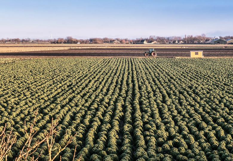 Boerenkool - Krap in de spinazie. Volop echte degelijke boerenkool.