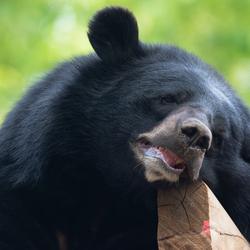 Zwarte beer in rust