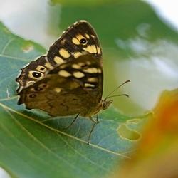 2018-08-20_5761-Koevinke-vlinder