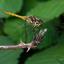 Bruinrode heidelibel (FC)