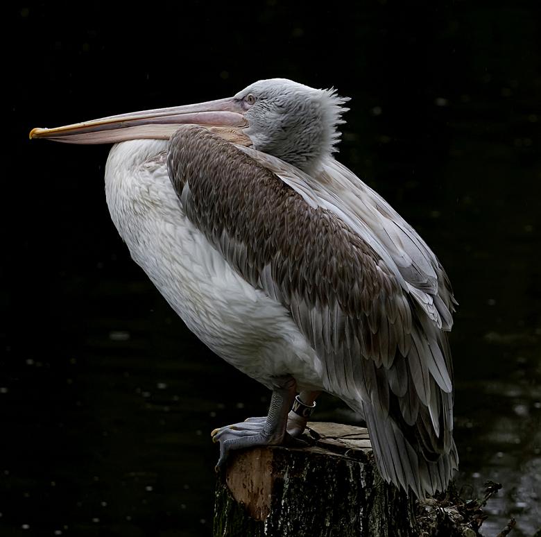 op mijn gemak - een pelikaan uit Blijdorp