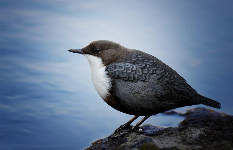 Waterspreeuw - Mooi vogeltje toch.<br /> Fijn weekend allemaal.<br /> Groet, Djurre