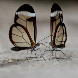 Glasvlinder duo