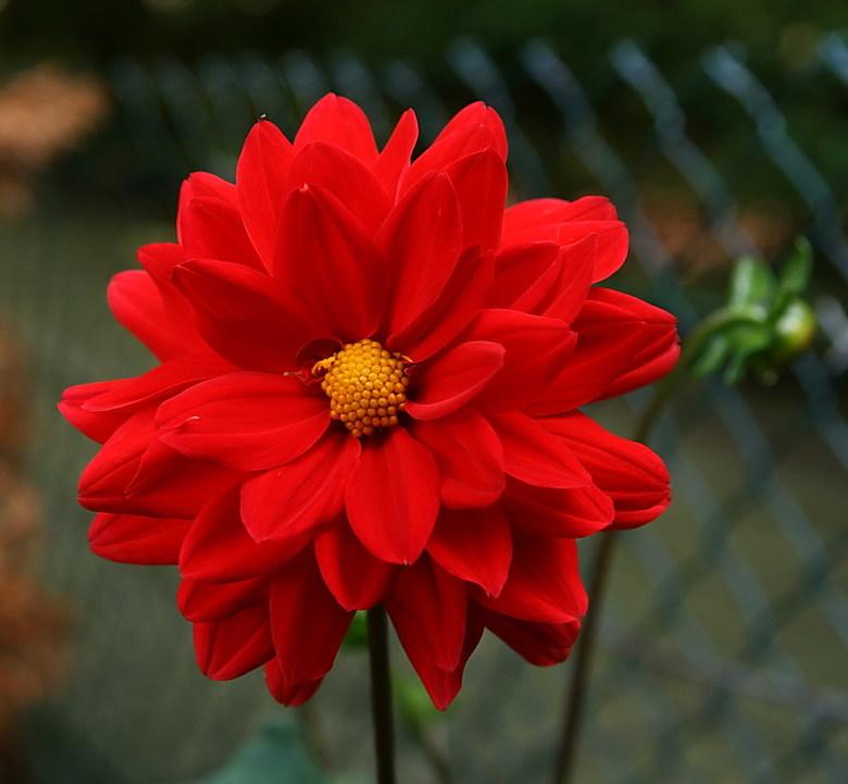 Mooi rood is niet lelijk. - Met dat sombere weer maar iets vrolijks geplaatst uit eigen tuin,<br /> 31 juli 2015.<br /> Groetjes Bob.