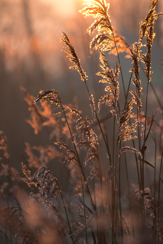 Gouden pluimen - Door berijpte riet pluimen schijnt de opkomende zon
