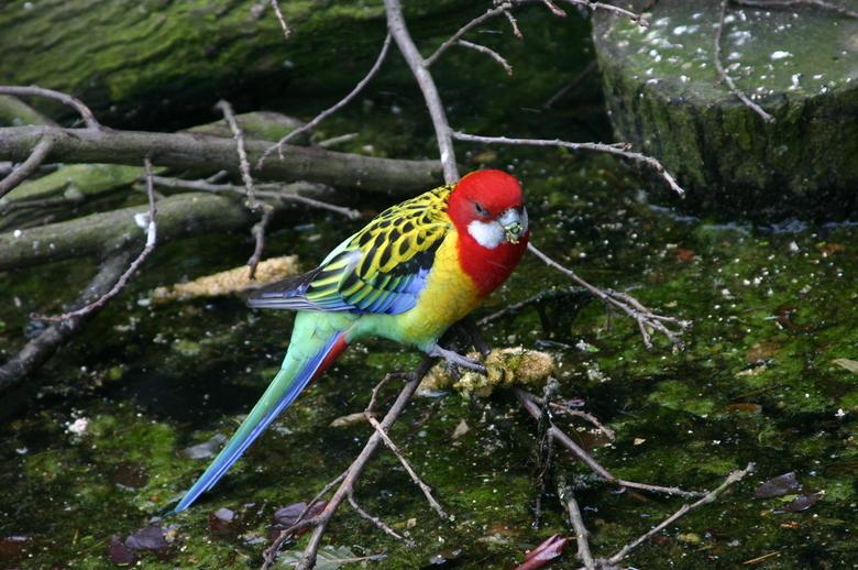 papegaai - het is een mooie foto