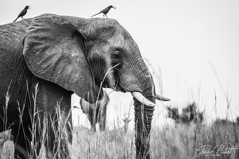 Making Friends - Terwijl de olifant zijn omgeving in de gaten houdt tijdens het eten, genieten de vogeltjes op zijn rug ook van een lekker hapje. Iede