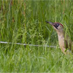 Green Woodpecker 260516(6)
