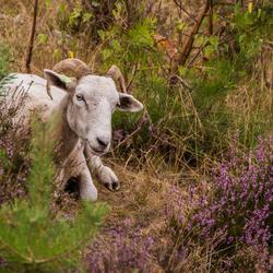 Wiltshire Horn in de Vennebulten