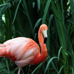 Roze Flamingo.