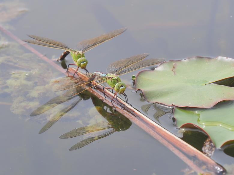 libelle - Druk op het takje in de vijver van Radio Kootwijk.