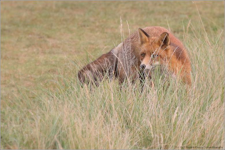Sly little fox