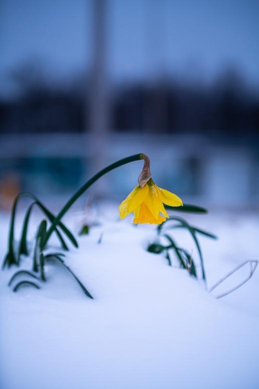 Narcis in de sneeuw - Narcis laat het hoofd hangen na de nodige sneeuwval