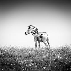 Zebra op de Zuid-Afrikaanse Savanne