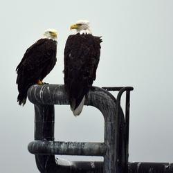 Happy couple Bald Eagle