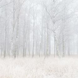 Dansende berken in de mist